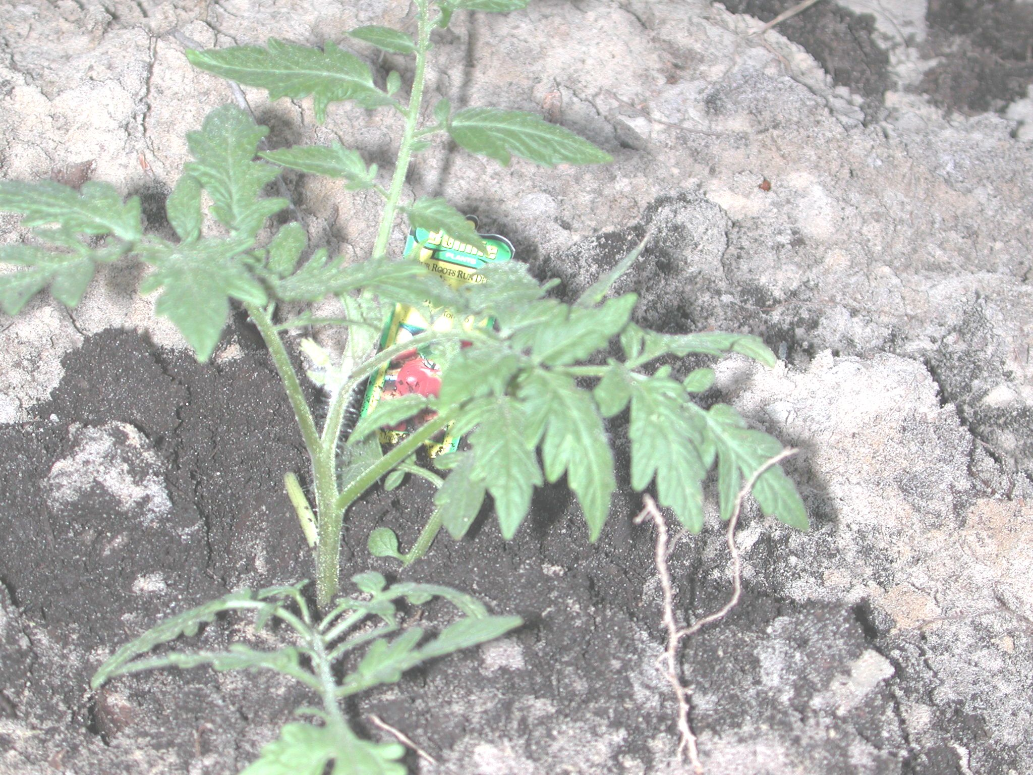 better boy tomatoes resistant to niemitodes